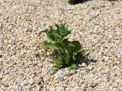 EBV_PLANTS-1588