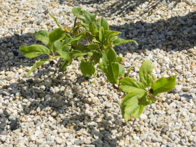 Kiwiberry 'Issai'