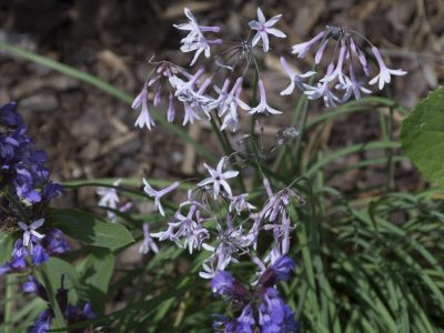 Tufted Bluebell