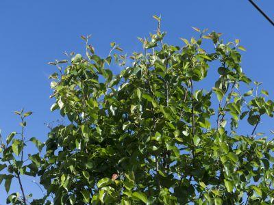 native guava