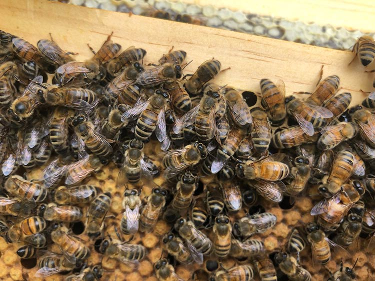 bees swarming in a cluster