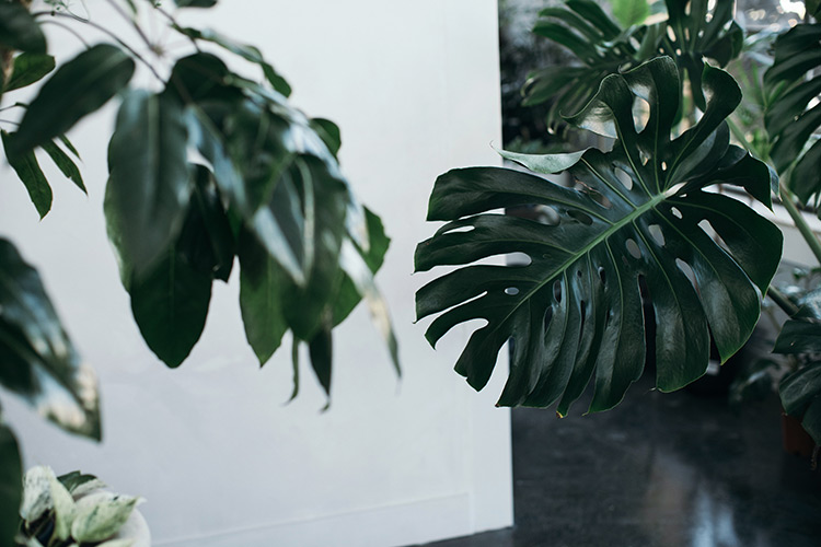 monstera plants placed indoors